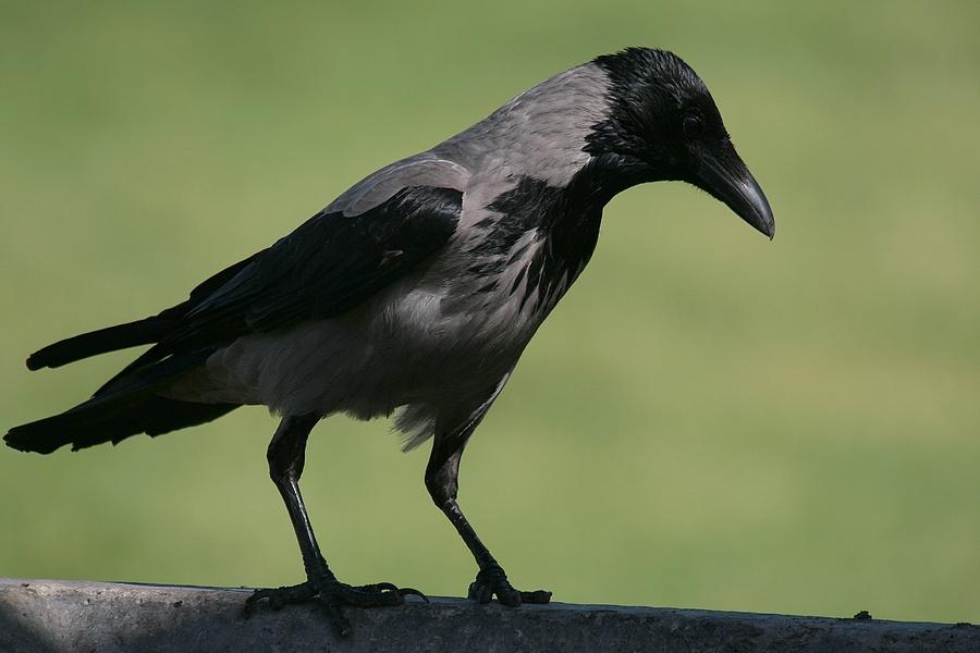Evil crow - photo#5