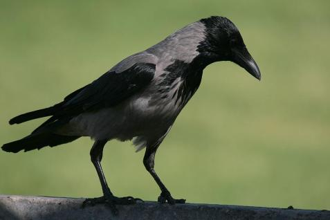 Crow-0326