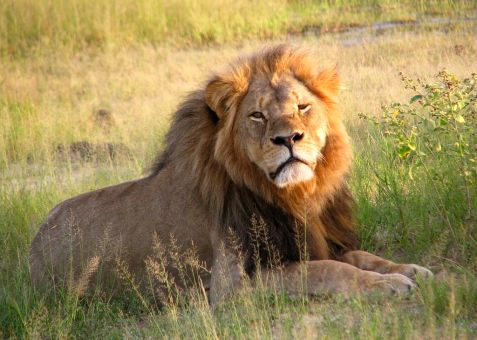 Cecil the lion at Hwange National Park in 2010