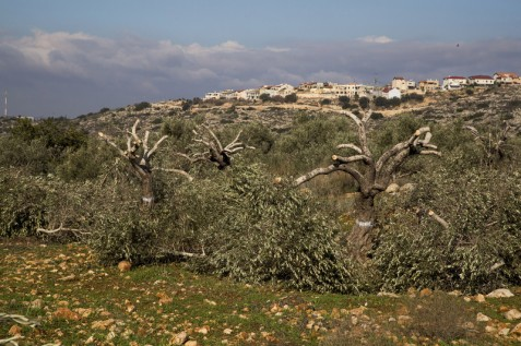 The Israeli settlement of Tzofim seen behind amputated olive trees near Qalqilya, in the occupied West Bank, 15 January. Hundreds of olive trees on private Palestinian agricultural land were cut as part of an Israeli plan to build a bypass road for settlers in the area. (Keren Manor) / ActiveStills